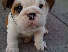 anim, heart, little puppies, bulldog puppies, the face, puppy face, pet, english bulldogs, puppy eyes