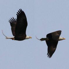 Bald Eagle #baldeagle #bald #eagle #wings #fly #photography #photo #Instagood #bird #birdwatching #catgraff