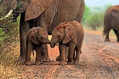 List Of Cute Animals at Pictures Of Cute Baby Animals With Sayings - Cute Animals Wallpaper Cartoon half Cute Baby Animals Wallpaper Background Elephant Facts, Elephant Love, Elephant Images, Cute Baby Animals, Animals And Pets, Wild Animals, Beautiful Creatures, Animals Beautiful, Beautiful Beautiful