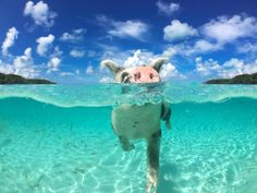 More than a half a dozen Bahamian swimming pigs have been found dead after rowdy tourists fed the adorable hogs beer, rum, hotdogs, and junk food.