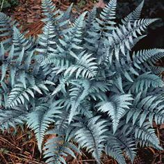Ghost Lady - A silvery-gray hardy Fern for partial to full shade; tolerates dry conditions.