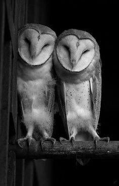 https://www.facebook.com/photo.php?fbid=10152276787437843 Barn owl pair
