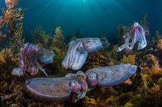 Miles de sepias apama se reúnen cada invierno en las aguas poco profundas del sur de Australia para reproducirse.