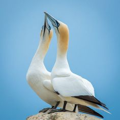 gannets together by Greg Sinclair