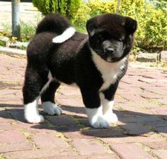 Akita puppy: this is why you fall in love with Akitas at first. Then they steal your heart in another 500 ways!