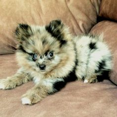 Blue Merle Pomeranian. Puppy Dog Puppies Hound Dogs