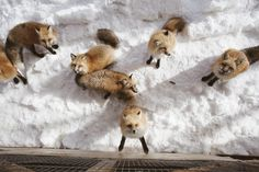 The Ultimate Guide to Zao Fox Village Japan: How to Get There Fox Village Japan, Miyagi, Foxes, Wander, Places To Go, Bucket, Babies, Cute, Travel