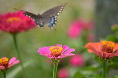 Butterfly in our zinnia garden! #butterflies #flowers #closeupphotography #CKFinePhoto
