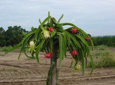 Todo dia é dia de jardinar: Pitaya - a fruta do cacto