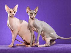 TODO SOBRE MI GATO: Sphynx, el gato esfinge/ Sphynx cats