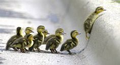ducklings ♥
