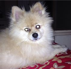 My Pomerania
