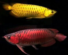 arrowana fish pictures   Arowana Dragon Fish   Arowana Fish in Feng Shui   Arowana Facts and ...
