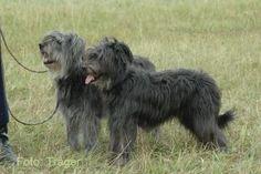 """schafpudel - """"sheep pudel"""" - old German herding breed"""