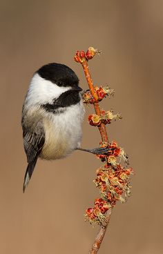Love a Chickadee!!
