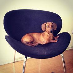 ...just chillin' #dachshund #teckel