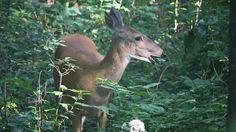 She's trimming the trees for us.  #BackyardHabitat #deer #WhitetailDeer #nature #wildlife