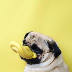The pug goes quack