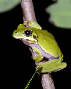 Hyla andersonii x Hyla cinerea, probable hybrid treefrog, Blackwater State Forest, Santa Rosa County, Florida