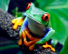 Tree Frogs Looking Cute But Very Dangerous - Animals Globe