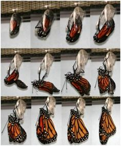 butterfly emerging from pupa - Google Search