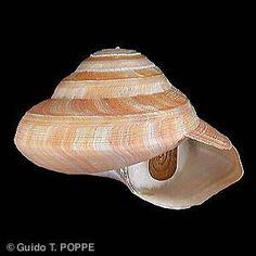 Rare Shells: Pleurotomariidae