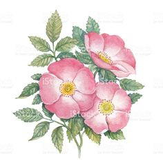 Watercolor dogrose illustration royalty-free stock illustration