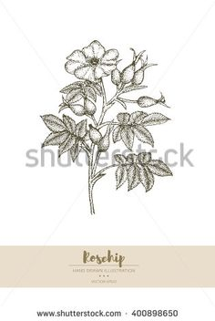 Vector hand drawn rosehip plant illustration.