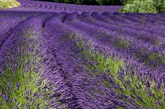 Lavender fields in Provence by Tatiana Brun