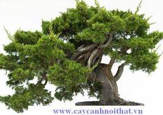 Cây cảnh may mắn, xanh tươi bốn mùa – Cây Bách - http://caycanhnoithat.vn/cay-canh-man-xanh-tuoi-bon-mua-cay-bach/