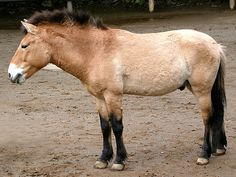 Przewalski's Horse developed in Northern Asia and is a very old breed. The remaining horses are wild.