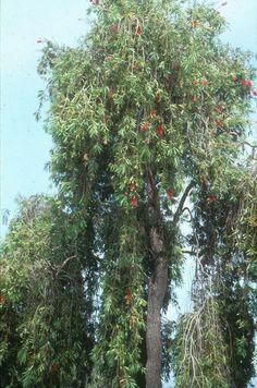 Botanical Name: Callistemon viminalis Common Name: Weeping Bottlebrush