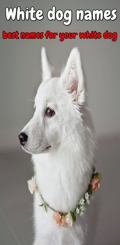 White Dog Names Top 100 Names For Your White Dog Dog Names