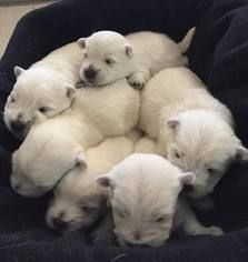 West Highland White Terrier Puppy For Sale In Roaring Branch Pa