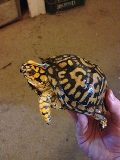 Screaming Yellow Male Eastern Box Turtle. Cute Turtles, Box Turtles, Eastern Box Turtle, Tortoise Turtle, Reptiles And Amphibians, Tortoises, Toad, Fish, Yellow