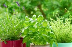 Learn tips for pruning your herb garden because when you prune herbs you harvest beneficial herbs for cooking as well as encourage the plant to grow.