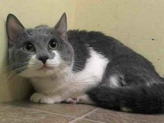 Adopted/rescued! TO BE DESTROYED 6/14/14 ** Albert allows the stroke, head-butts the assessor's hand and rolls over in place; appreciates petting on the head and body.  ** Manhattan Center  My name is ALBERT. My Animal ID # is A1001485. I am a male gray and white domestic sh mix. The shelter thinks I am about 1 YEAR 1 MONTH old.  I came in the shelter as a STRAY on 05/30/2014 from NY 10459