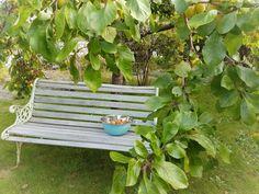 plum tree in my garden