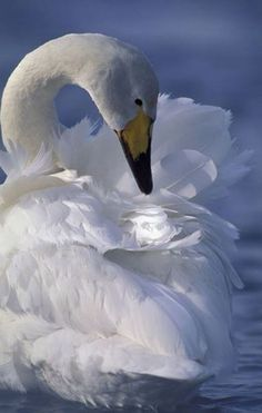 Whooper swan (Cygnus Cygnus) preening, Lake Kussharo, Hokkaido Japan - photo by Wolfgang Kaehler Swan Love, Beautiful Swan, Beautiful Birds, Animals Beautiful, Cute Animals, Swans, Trumpeter Swan, White Swan, Kinds Of Birds