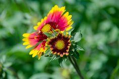 Cómo cultivar gaillardia en el huerto | Cuidar de tus plantas es facilisimo.com