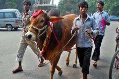কোরবানির জন্য ঢাকায় ৪৯৩ স্থান নির্ধারণ - Bangladesher patro (বাংলাদেশের পত্র) World Wide News, News Agency, Political News, Cool Pictures, Places To Visit, Horses, Animals, Animales, Animaux