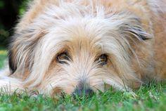 Pyrenean Shepherds / Berger des Pyrénées / Petit Berger / Pyrenees Sheepdog / Chien de Berger des Pyrénées Tu Me Manques, Pug Love, Photos Du, Beautiful Dogs, Lions, Best Dogs, Pugs, Dog Cat, Puppies