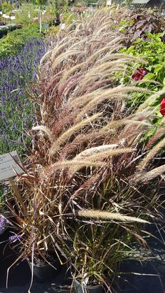 Plooms appear in the fall tall Best in full sun Zone 4 Perennials, Fountain Grass, Lawn Care, Plymouth, Michigan, Survival, Herbs, Sun, Landscape