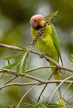 Blossom-headed Parakeet (Psittacula roseata)