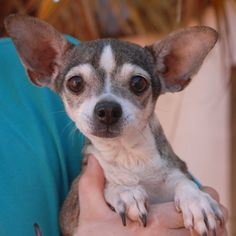 Katie loves to be held, but if your arms are full she will stand and gently hug your leg until you are able to pick her up.  She is a beautiful, petite Chihuahua, 8 years of age, a spayed girl, debuting for adoption today at Nevada SPCA (www.nevadaspca.org).  Katie loves other dogs too.  We rescued her from another shelter.  She only weighs 7 pounds, so extra safety precautions in your home and yard are needed.