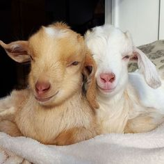 Goats of Anarchy baby pet farm animals