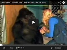 This is old footage of Koko the gorilla loving and caring for a pet kitten…and then crying whenever she finds out the kitty died. If anyone says animals don't feel emotions, show them this..