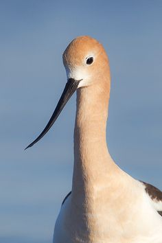 American Avocet Portrait | by Jeff Dyck
