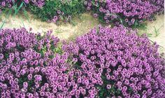Tymianek - Macierzanka - g nasion Thymus vulgaris Thymus Serpyllum, Magic Carpet, Korn, Outdoor Living, The Past, Bloom, Flowers, Nature, Plants