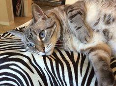 Coco on zebra
